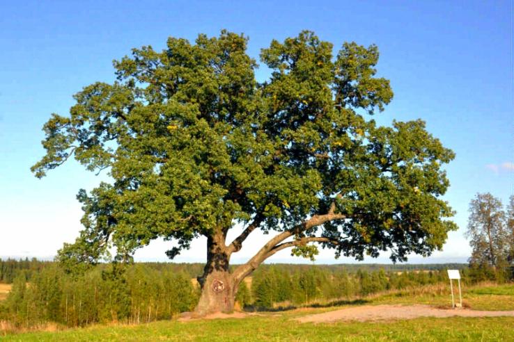 Всероссийская программа: «Деревья – памятники живой природы»